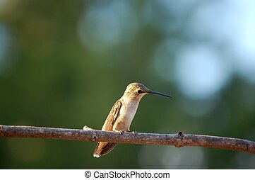 Until next Spring, - Female Anna Hummingbird right before...