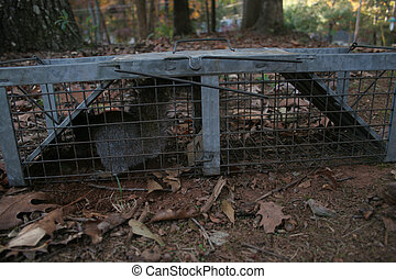 Squirrel in trap - A squirrel is trapped in a humane trap,