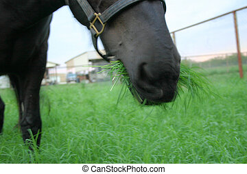 Eating Grass - Strange image of horse eating grass for a...
