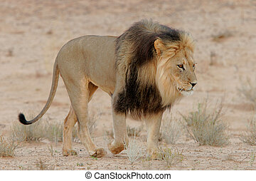 Black-maned lion - Big, black-maned African lion (Panthera...