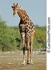 Giraffe bull - A large giraffe bull (Giraffa...