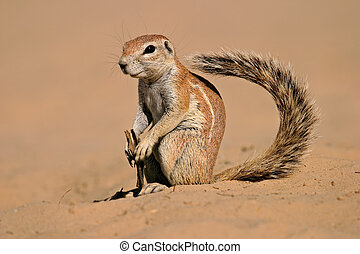 Ground squirrel - Inquisitive ground squirrel (Xerus...