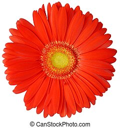 Flower - Isolated gerbera flower