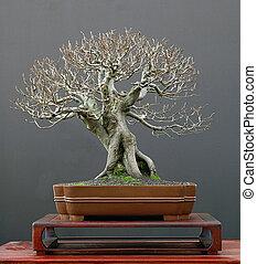 European beech bonsai in winter - European beech, Fagus...