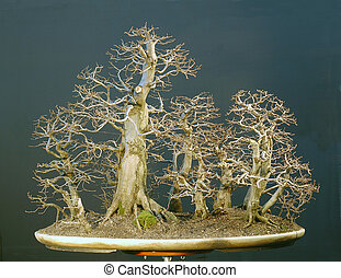 hornbeam forest bonsai in winter - European hornbeam,...