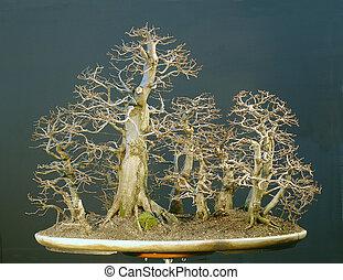 hornbeam forest bonsai in winter - European hornbeam,...