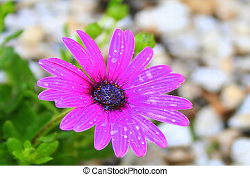 African Daisy - A lovely bright African Daisy flower in full...