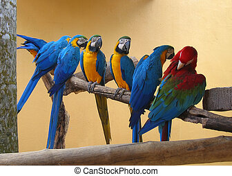 Seven macaw parrots - Macaw parrots on a perch Six blue and...
