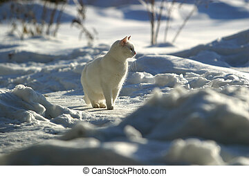 White cat on snow - White cat on winter road