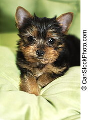 Yorkshire Terrier - Yorkie puppy sitting on greeen cushion