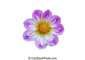 Easter Bonnet Flower - Isolated