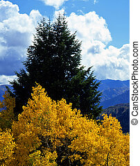 AlpineLoopAspens - Aspen and evergreen trees in the...
