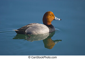 Red head - Redhead duck