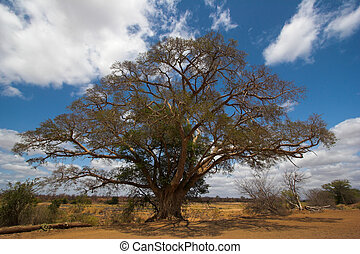 Umbrella thorn in the Kruger Park, South Africa.