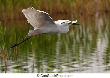 Great egret taking off from a pond