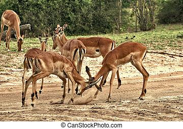 Deer, impala antelope fighting - Impala antelope, deers herd...
