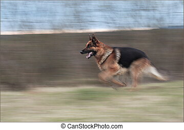 Run dog - Running german shepherd