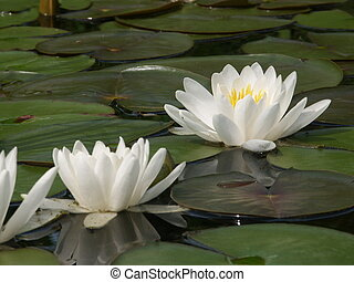 White water lillies on a calm pond