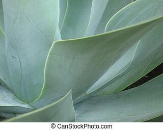 Verde azulado, agave