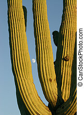Saguaro and Moon - Saguaro cactus in Saguaro National Park...