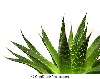 aloe vera leaves detailed - aloe vera leaves, detailed on...