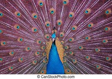 Peacock fan - Peacock displaying its fan