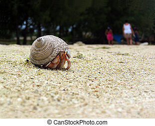 Dangerous way - Big hermit crab at the beach of Muri lagoon,...