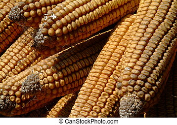 corncobs - some old and dry yellow corn cobs