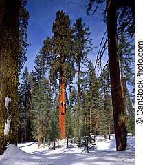SequoiaTree - A giant sequoia tree in Sequoia National Park,...
