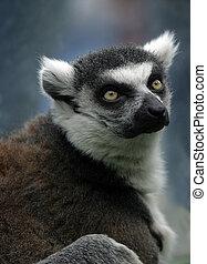 Lemur - Portrait lemur on a nature