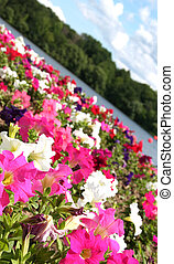 FLOWER GARDEN - Bed of flowers on lake shore ** Note:...