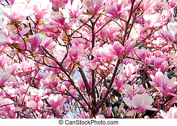Blooming magnolia - Background of blooming magnolia tree...