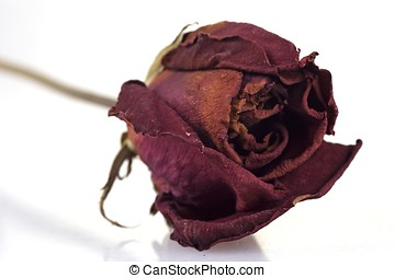 Withered Red Rose - A withered red rose in white background.