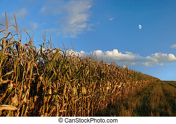 Autumn Cornfield - Line of cornfield rows in autumn against...