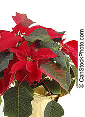 Christmas Poinsettia - Close-up of beautiful red poinsettia
