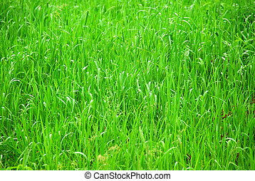Green grass - Background of tall grass wet from rain