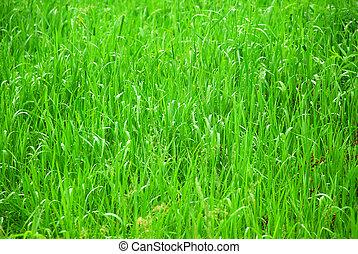 Green grass - Background of tall grass wet from rain