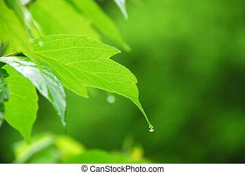 Green leaf rain - Macro of young green leaf with hanging...