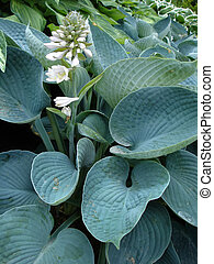 hosta - blooming hosta