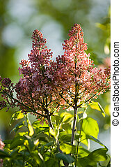 Lilac flower - Lilac bush in early morning hours on a...