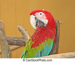 Red and green macaw (Ara chloropterus) - Portrait of a red...