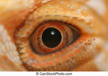 Eye of the Dragon - Extreme close up of a Bearded Dragons...
