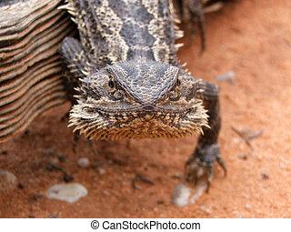 Bearded Dragon (Pogona vitticeps) in Sturt National Park,...