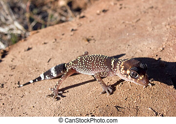 Barking Gecko Underwoodisaurus milii in Flinders Ranges,...