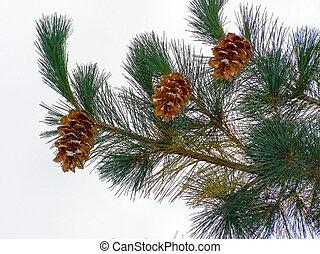 pinecones,