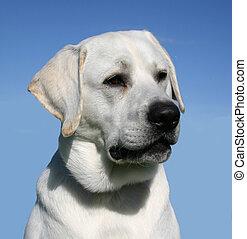 cute labrador - purebred labrador retriever