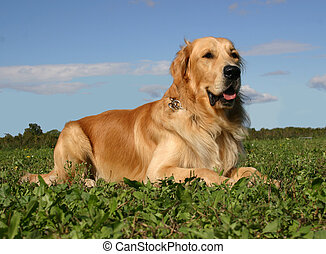 golden retriever - purebread golden retriever