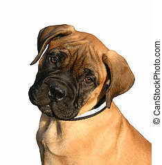 puppy mastiff - puppy purebreed bull mastiff detoured