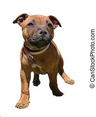 staffie detoured - puppy purebreed staffordshire bull...