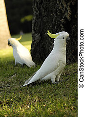 two parrots - two white parrots with yellow feathers on head